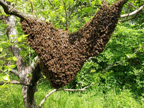 Čebelji roj