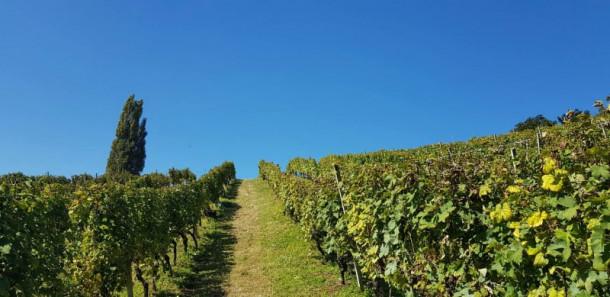 naš vinograd