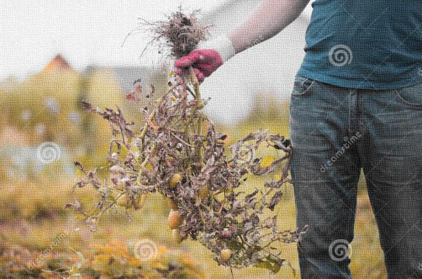Razkoreninjen plevel